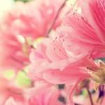 ピンク色の花々
