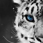 青い眼の虎