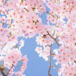 季節を感じる桜🌸の無料高画質iPhone壁紙[06]