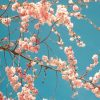 季節を感じる桜🌸の無料高画質iPhone壁紙[13]
