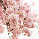季節を感じる桜🌸の無料高画質iPhone壁紙[14]