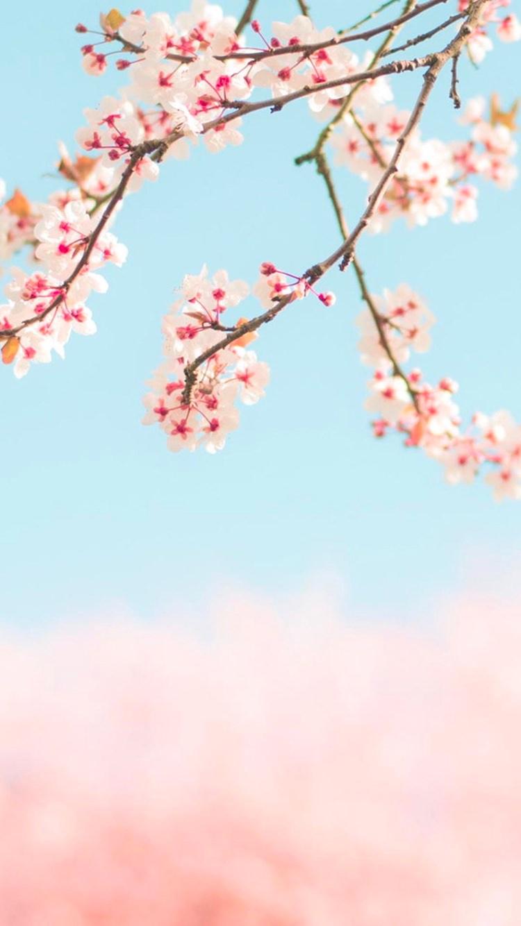 季節を感じる桜 の無料高画質iphone壁紙 16 めちゃ人気 Iphone壁紙dj